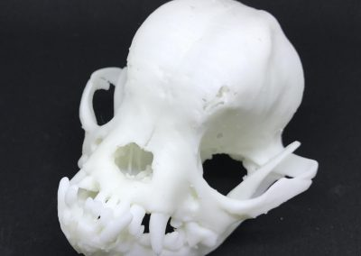 Brachycephalic Dog Skull